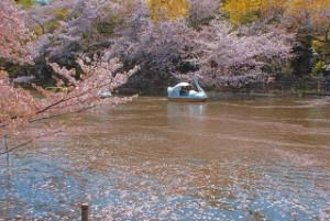 井の頭恩賜公園 桜 アヒルボート