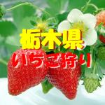 栃木県いちご狩りおすすめ人気ランキング2020!食べ放題や料金は?