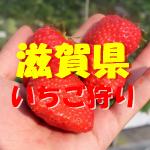 【滋賀県いちご狩り】おすすめ2020!食べ放題や周辺観光スポットは?