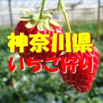 神奈川県いちご狩りおすすめ人気ランキング2017と口コミ情報