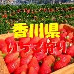 香川県いちご狩りおすすめ人気ランキング2017と口コミ情報