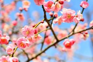 梅の花 サーモンピンク