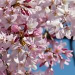 上野公園の桜2017の開花予想と状況!満開の時期や見頃は?