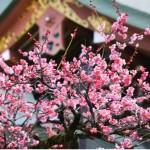 京都北野天満宮 梅
