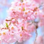 東京お花見スポット人気ランキング!アクセスや見頃は?