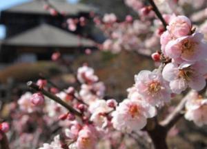 水戸偕楽園 梅祭り