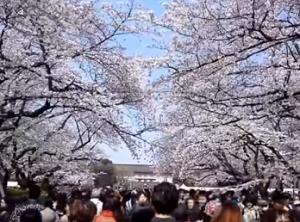 上野恩賜公園 桜 花見