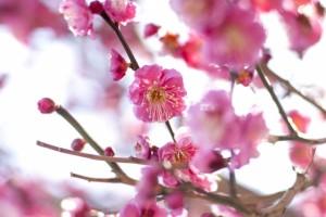 梅 ピンクの花