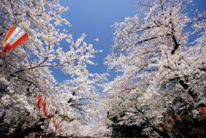 上野公園 桜 お花見