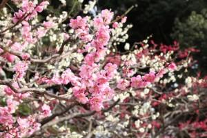 梅の花 白 ピンク