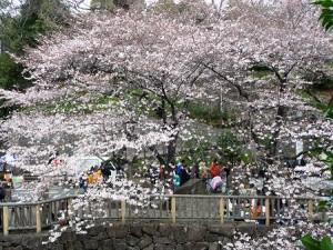 音なし親水公園 桜