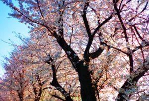 上野公園 桜 ライトアップ