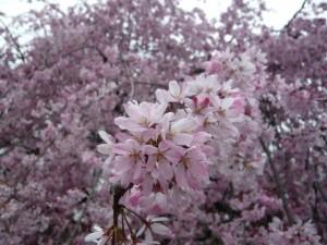 桜 花 アップ 満開