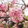桜 花 アップ