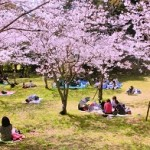 上野公園お花見の場所取り2016必勝法!平日、休日の時間帯は?