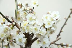 梅 白い花