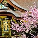 京都北野天満宮の梅2018の開花状況と見頃!アクセスは?