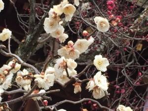 北野天満宮 白い梅