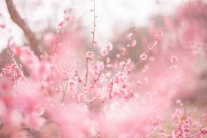 梅の花 ピンク 満開