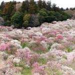 水戸偕楽園梅まつり2017の開花状況。駐車場や屋台はある?