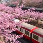 三浦海岸の河津桜まつり2017。開花状況と見頃。駐車場は?