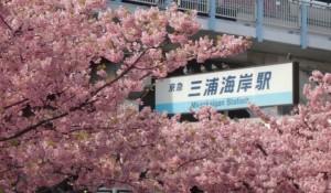 三浦海岸駅 桜