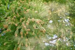 スギ 花粉