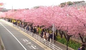 三浦海岸 河津桜 観光