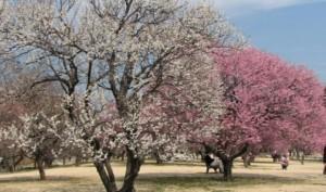 水戸偕楽園 梅の木