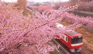 京急電鉄 河津桜