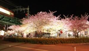 三浦海岸 河津桜 ライトアップ