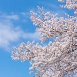 大阪桜の名所ランキング!アクセス方法や見頃もチェック