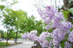 札幌 ライラック 大通公園