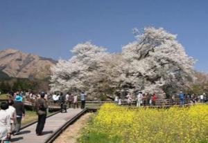 熊本一心行の大桜
