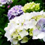 小田原城あじさい花菖蒲まつり2017の開花状況。ライトアップは?