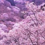 奈良吉野桜2016の見頃と時期。開花状況や開花予想は?