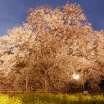熊本一心行の大桜2017開花情報と見頃!場所やアクセスは?