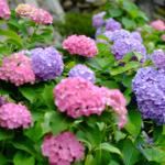 長谷寺(鎌倉)のあじさい2017の見頃や開花状況。待ち時間は?