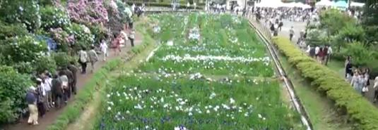 小田原城アジサイ花菖蒲祭り