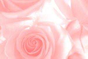ピンク バラ