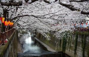 桜 まつり