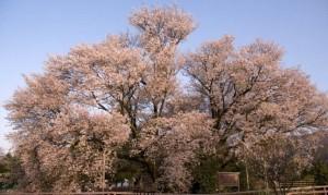 熊本一心行 大桜
