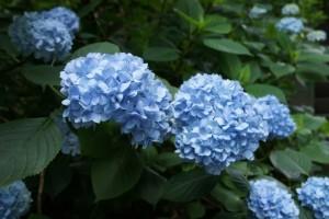 明月院 姫紫陽花