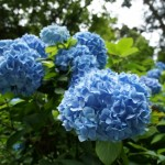 明月院(鎌倉)のあじさい2016の見頃や開花情報。混雑状況は?