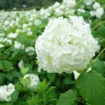 東京サマーランドあじさい園2018の開花状況と見頃情報。