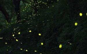 森に飛び交うほたるの光