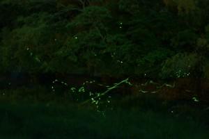 蛍の光 乱舞 森林