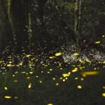 森に集まる蛍の光