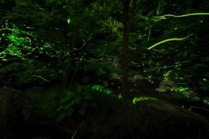 森林 蛍 光 乱舞