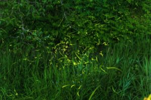 草むら ほたる 乱舞